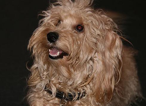 Non-shedding dogs, Allergy Friendly Dog, Hypoallergenic dogs, Hybrid
