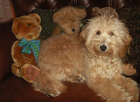 mini goldendoodle puppy. goldendoodle mini.