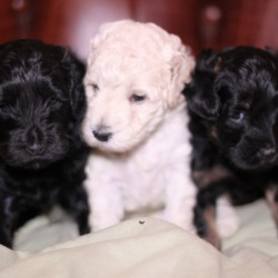 Isabella's puppies are beautiful!