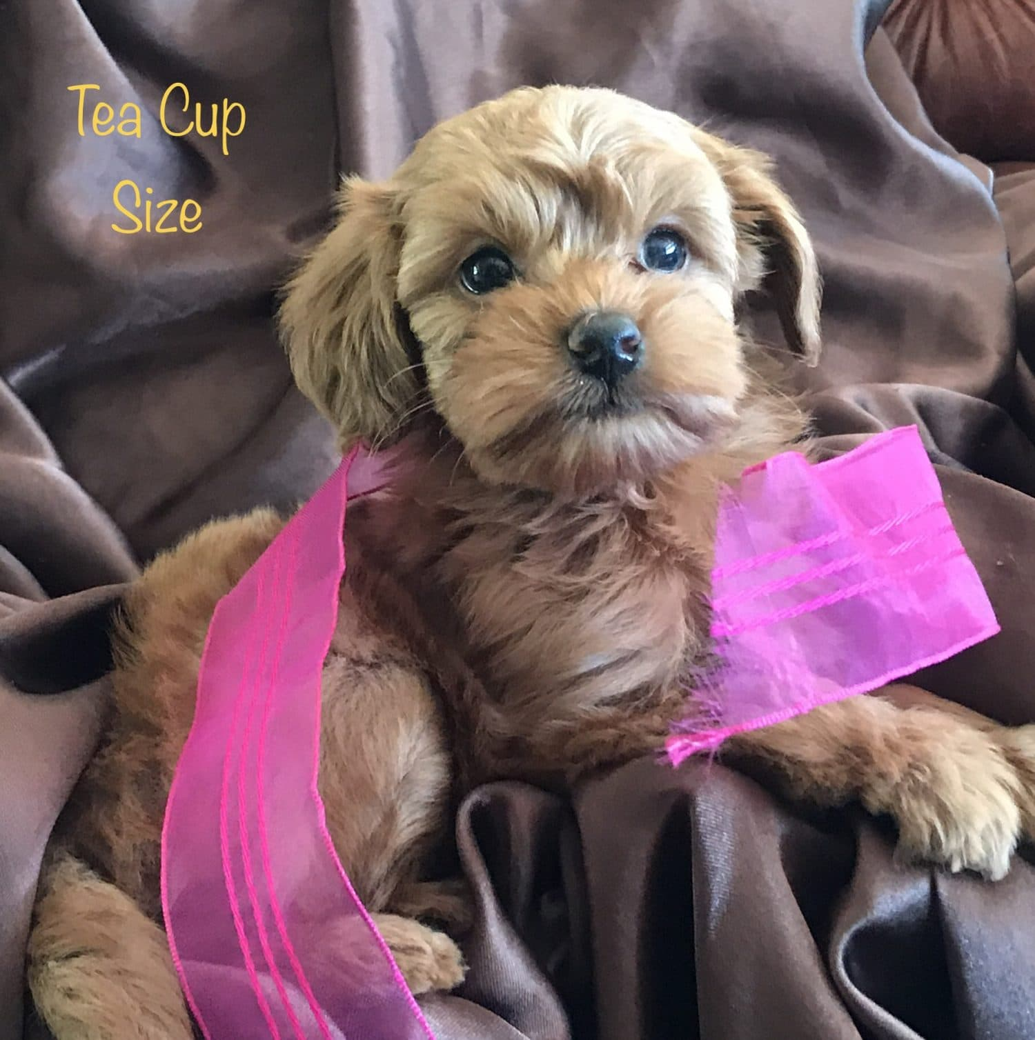 Mini Goldendoodle Puppies For Adoption San Diego Goldendoodle Breeder